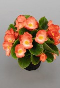 Begonia_Sprint_Plus_Orange_Bicolor_2_web_z1.jpg