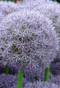 allium-x-round-and-purple.jpg