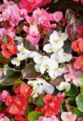 begonia-semp-mixed.jpg