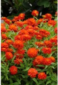 zinnia-double-fire.jpg