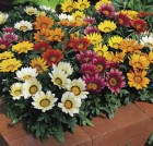 gazania-kiss-mix.jpg