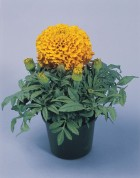 tagetes-erecta-discovery-orange-w1641-3-1.jpg